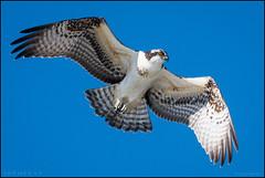 Fall Osprey @ Cape May NJ (Nikographer [Jon]) Tags: osprey birdmigration fall september sep 20160925d500032066 d500 2016 600mmf4 bird birds blue themeadows beach atlatic ocean newjersey nj
