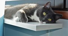 enjoying the sun (marski95) Tags: cat chat kissa gray eyes beautiful