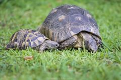 family bonds... (@Katerina Log) Tags: family turtle turtoise katerinalog nature natura outdoor sonyilce6000 couple ground grass green depthoffield bokeh animal macro closeup reptile 105mmf28