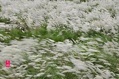 102天兔之風芒 (422) (jm7672) Tags: 芒花 甜根子草 蔗屬 濁水溪 清水溪 秋天 夕照