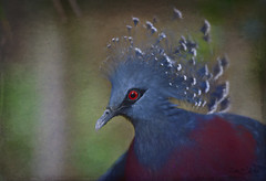 Victoria Crowned Pigeon (Zara Calista) Tags: texture nature bird new guinea blue portrait head victoria crowned pigeon artistic