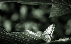 Curious Hidden Spaces (Charles Opper) Tags: blueclipper callawaygardens canon georgia hmbt parthenossylvia spring blackandwhite bokeh butterfly clipper dark insects lilacinus monochrome nature