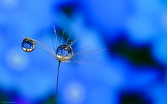 Dandelion in blue (YᗩSᗰIᘉᗴ HᗴᘉS +8 000 000 thx❀) Tags: drop droplet water dandelion blue macro hensyasmine 7dwf