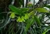 Epidendrum amparoanum (Mabelín Santos) Tags: epidendrumamparoanum orkidé orkidea orquídia orhideja orquidáceas tropical panamá orquídeaspanameñas florachiricana orquídeasdechiriquí chiriquí orquídeasdepanamá panamanianorchids nativeorchidspanama epífita orquídeaschiricanas lowlandorchid орхидея ορχιδέα magairlín орхідея orkide storczyk tegeirian кветка blóm цветок blomst gėlė bláth tropisch tropski trópaiceach tropinis тропический 热带 열대의 トロピカル 蘭 난초 आर्किड กล้วยไม้ anggrek