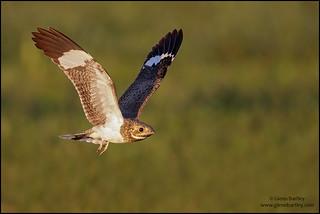 Nacunda Nighthawk (Podager nacunda)