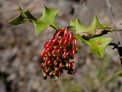 Grevillea Steiglitziana, Brisbane Ranges Grevillea (AlfredSin) Tags: alfredsin australianflowers australianplants australiannativeplants australiannativeflowers redflowers grevillea grevilleasteiglitziana brisbanerangesgrevillea