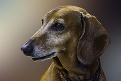 Danielle (Chatham Sound) Tags: canine dog dachshund portraits
