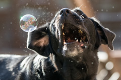 BUBBLE!!! (Marcus Legg) Tags: funny joy max black labrador retriever dog pet action blacklabradorretriever bubbles home outdoors outside natural animal bokeh ears fun bokah backlit beast 1dx fur golden pets play