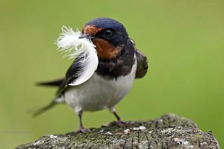 Swallow with feather - Rauchschwalbe mit Feder