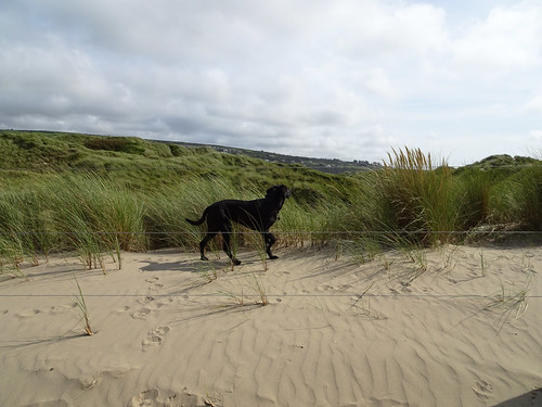 Dog in front of Royal St David's course in Halech