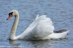 Majestic (Explored 2017-08-05) (Reinhold.Lotz [too busy]) Tags: schwäne vögel natur antrifttal hessen deutschland de sunrays5 coth5