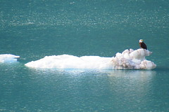 Bald eagle hitching a ride on an ice flow in Alaska (Karlov1) Tags: le