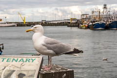 guard (pamelaadam) Tags: 2016 digital summer scarborough engerlandshire august sea fotolog thebiggestgroup holiday2016 bird seagull