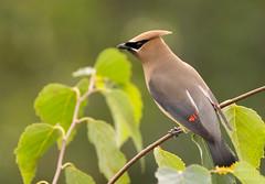 Jaseur d'Amérique // Cedar Waxwing (Alexandre Légaré) Tags: jaseurdamérique cedarwaxwing bombycillacedrorum oiseau bird nikon d3200 martinville