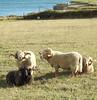 Portland Sheep; rams. (dugwin2) Tags: portland sheep bill dorset rams big curly horns