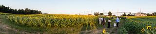 Jarrettsville Sunflower Pano