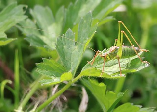 Speckled bush-cricket (male)