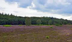 Dutch Purple Heath Landscape (JaapCom) Tags: jaapcom purple heath landscape dutchnetherlands clouds natural feld heide