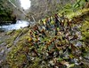 Peltigera polydactyla (davidgenneygroups) Tags: lichen uk scotland peltigerapolydactyla peltigera polydactyla terricolous fertile foliose