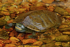 Common Map Turtle (Graptemys geographica) (2ndPeter) Tags: map turtle graptemys geographica shell rocks river water herp herping peter paplanus canon rebel t3i 100mm macro lens reptile animal critter creature peterpaplanus canonrebelt3i 100mmmacrolens outdoors commonmapturtle common graptemysgeographica scenic ozark missouri explore flickr
