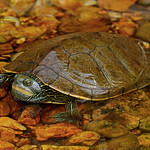 Common Map Turtle (Graptemys geographica) thumbnail
