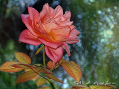 A Rose in the Wind (Marcella Spanò Garsia) Tags: flower flores fleur blumen fiori rosa roses nature garden petals wind