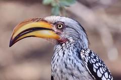 Southern yellow billed hornbill (ClareSymonds) Tags: chobe botswana hornbill
