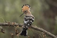 Hoopoe (Josh13770) Tags: hoopoe resting gibraltar its way back africa spend cold months eurasianhoopoe upupa epops upupaepops