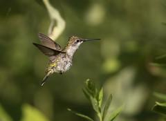 Scruffy Hummer.. (DTT67) Tags: hummingbird femalehummingbird rubythroatedhummingbird birds bif nature garden wildlife tiny canon 1dxmkii 500mmii