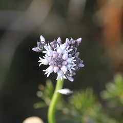 Conospermum patens (kymnicolson) Tags: flower southaustralia australianplants