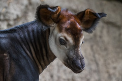 Staff Welcomes Mosi, First Endangered Okapi Born at the Zoo in Four Years (San Diego Zoo Global) Tags: sandiegozooglobal©2016 animals nature okapi sandiego zoo conservation travel tourism cute baby endangered