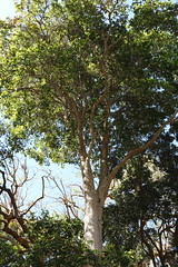 Shatterwood (Backhousia sciadophora) (Poytr) Tags: shatterwood backhousia backhousiasciadophora arfp nswrfp qrfp royalbotanicgardenssydney rbgsarfp rbgs tree myrtaceae