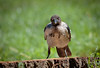 Cornacchia Grigia // Corvus Cornix (Christian Papagni | Photography) Tags: segrate lombardia italia it cornacchia grigia corvus cornix crow milano due laghetto dei cigni canon eos 7d mark ii ef100400mm f4556l is usm