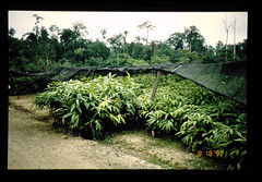 Seedlings Of Rattan = ラタンの苗木 (JIRCAS) Tags: 熱帯林の環境変動と研究状況の把握 マレーシア サバ州 林業 rattan seedlings sabah malaysia