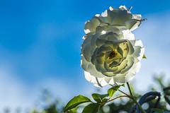 Backlight for the rose (Petr Sýkora) Tags: květina mood rostlina růže zahrada garden backlight morning rose flower colors serene