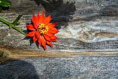 Bright Flower (MoFasterMo) Tags: orange flora wood board bright noon color missouri nikon d7100 digital flower outdoors barnwood 3563x2373