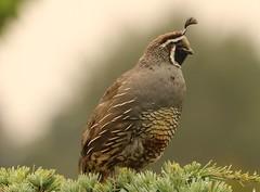 Anglų lietuvių žodynas. Žodis california quail reiškia kalifornijos putpelės lietuviškai.