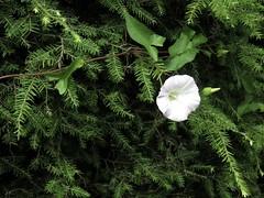 Wild Morning Glory In The Hedge Maze (amyboemig) Tags: pathoflifegarden windsor vt vermont ham hamming hike hiking walk path garden hedge maze july morningglory flower wild
