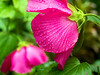 Rows of Drops (farolsfotos) Tags: hibiscus hybiscus red flower wet rain drops rows