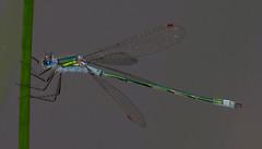 2017_07_1947 (petermit2) Tags: emeralddamselfly damselfly pottericcarr potteric doncaster southyorkshire yorkshirewildlifetrust wildlifetrust ywt