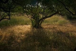 Under the Olive Tree / Ispod masline