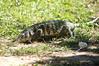 Paraguay Caiman Lizard (helmutnc) Tags: hennysanimals hg specanimal sweetfreedom