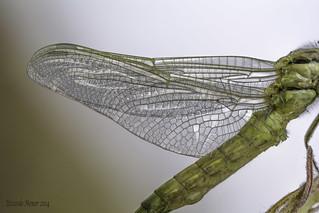 Detalle de alas en la emergencia.  Detail of wings in the emergency