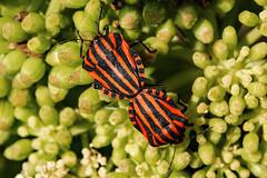 Making Humbugs (Philip McErlean) Tags: graphosoma lineatum italicum shield stink bug minstrel stripes black orange yellow nature insects france raynox dcr 150