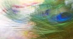 Swaying Breezy Colour Burst (dksesh) Tags: dhanakoti panasonic g6 peacock sesh seshfamily haritasya hevilambisamvatsara panasonicdmcg6 panasonicg6 icm peacockquill quill seshadri harita dmcg6 intertionalcameramovement abstract ccgaug2017