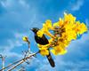 Boyerito (Marcelo J. Lamarque) Tags: aves animales boyerito yerbabuena tucumán argentina ar