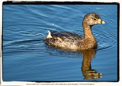 Pied-billed Grebe in the wetlands (Explore 2017-08-31) (NancySmith133) Tags: inexplore piedbilledgrebe lakeapopkanorthshorewildlifedrive centralfloridausa wetlands coth alittlebeauty ngc