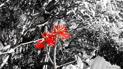 Eritrina-candelabro (bgarkauskas) Tags: 1855mmf3556 erythrinaspeciosa bgarkauskas eritrinacandelabro estradarural f3 flickr flor flower nex sony