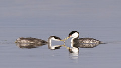 Clark's Grebe (AmyEHunt) Tags: clarks grebe diving walden colorado waterfowl