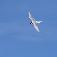Arctic Tern flight (Margaret S.S) Tags: arctic tern inflight isleofmay